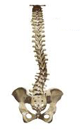 Scoliosis - Chiropractic Symptoms and Conditions